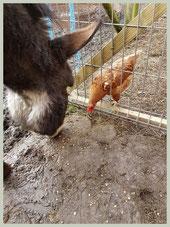 Zorg dat het kippenvoer onbereikbaar is voor de ezel!