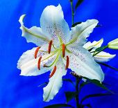 Hell wie das Licht und so rein wie die echte Liebe: die weiße Lilie