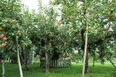 つがる市柏のリンゴ