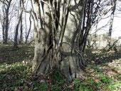 巨木の森のホウノキ