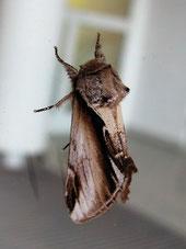 Birken-Zahnspinner (Porzellanspinner) (Pheosia gnoma)