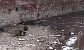 Cochons dans le Gange pollué