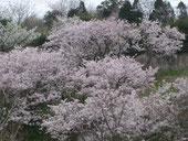 大三島大三島橋の桜
