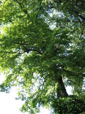 Meine Linde, mein Lebensbaum! Er bietet Schatten, ist wunderschön und stark!