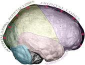 Représentation simplifiée de la variation de morphologie de l'endocrâne entre Hommes modernes fossiles (contour externe) et récents (contour interne)