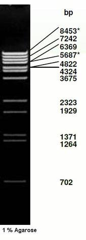 DNA standard size, dna leiter