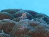 石垣島の海底温泉でのんびりダイビング