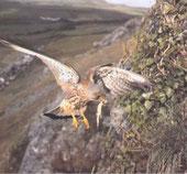 Ein Männchen kehrt mit einer Eidechse im Schnabel zu seinem Jungen zurück.
