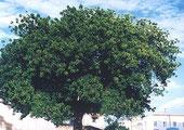 Neembäume gedeihen in tropischen Regionen