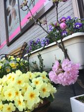 佐倉市かぶらぎ整骨院 院前の桜写真