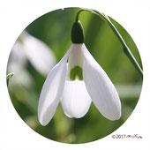 スノードロップ(松雪草)緑色の花弁