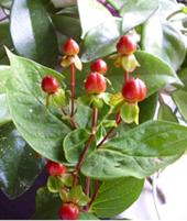 Homöopathie Bochum - Hypericum- eine Heilpflanze, die auch in der Homöopathie verwendet wird.