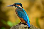 wunderschöner Eisvogel, Natur, tierliebe Menschen, Tierfreunde, Vogelfreunde
