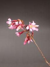Blüte von Fuji-Kirsche, Prunus incisa ´Paean´