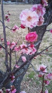 梅が鮮やかに咲いていました