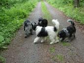 Schapendoes-Treffen: Ginger und die anderen Junghunde meiden das direkte aufeinander zugehen - ein natürliches und instinktsicheres Verhalten!