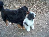Hamlet hält zielstrebig auf Ginger, die noch im Welpenalter ist, zu. Ginger ist diese erste Begegnung mit dem riesig erscheinenden Hund nicht geheuer und wendet Hamlet den Rücken zu.