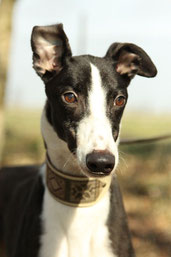 Greyhound Lucius