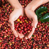 Why Coffee Fruit is Trending