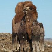 kamelwolle baby kamel wolle