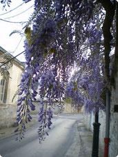 Glycine - Rue Louis Blanchet - Aumont