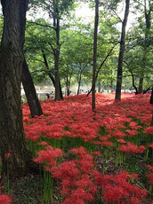 巾着田の辺り一面に咲いている真紅の曼珠沙華!とてもきれいでした
