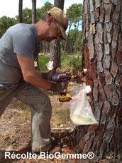 Récolte résine de pin colophane naturasphere
