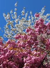 Rosarote und weiße Japanische Kirschblüten an einem Baum. Foto: Helga Karl