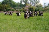 Little Bernese Army