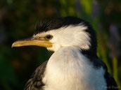 cormoran pie