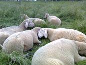 Meine Schafe