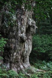 縄文杉を見上げる(縄文杉1泊2日ガイドツアー)