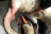 Schwan mit 5 cm langen Angelhaken im Hals u. unterem Teil des Schnabels