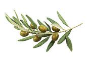 Kaltgepresstes Olivenöl - Rohstoff für die natürliche & vegane Lippenpflege von lipfein