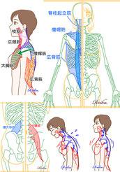 骨格・筋肉 イラスト 成作