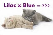 Bildquelle: Lilac-Blue-Vererbung -  British Kitten © Larisa Kursina - Fotolia.com