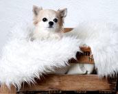 Chihuahua, Hündin, Coaching Hund, Dina
