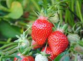 Reisach Erdbeeren