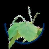 Bestandteil von metakaveron Kava-Kava