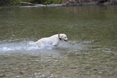 Sunny(Viola vom Knüll) labrador,http:// Labrador-vom-ammerlandtal.jimdo.com