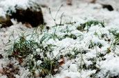 画像:草に降り積もった雪