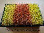 Weizengras Samen Saat Weizengrasanbau Anzuchtschale