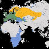 Karte zur Verbreitung des Mäusebussards (Buteo buteo)