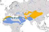 Karte zur Verbreitung des Wüstensteinschmätzers (Oenanthe deserti)