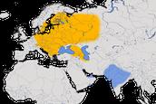 Karte zur Verbreitung des Zwergschnäppers (Muscicapidae)