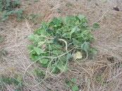 1本の根から縦横に繁茂するアレチウリ