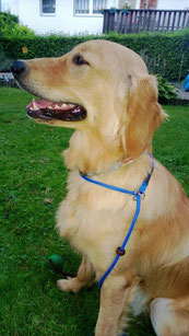 "Golden Retriever ""Lee"" mit blauer Moxonleine ""dream"""