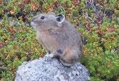 氷河期の生き残り「ナキウサギ」ようやく撮影に成功!