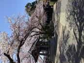 巣ごもり桜画像