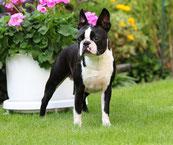 boston terrier, hunde, zucht, welpen, züchter, welpen, niedersachsen, hamburg, lüneburg, uelzen,